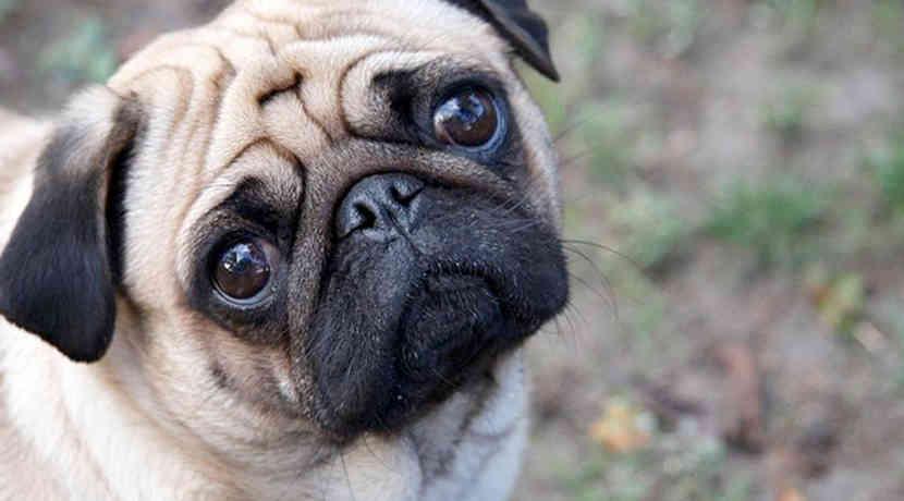 Download Pug Dog Hd Wallpaper Gallery: Hundeblick Setzt Kuschelhormon Oxytocin Frei