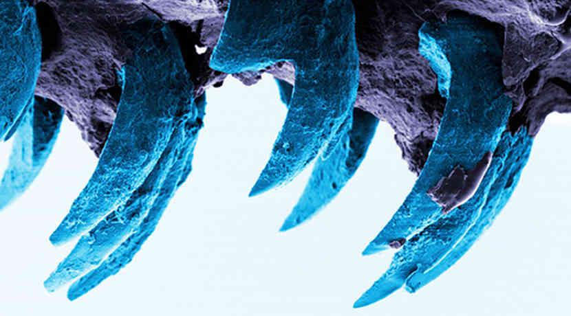Napfschnecke Zähne