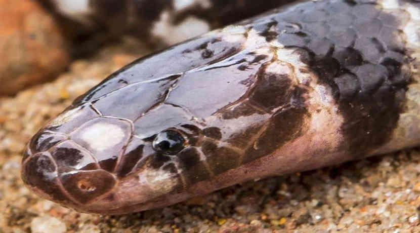 Giftschlange Australien