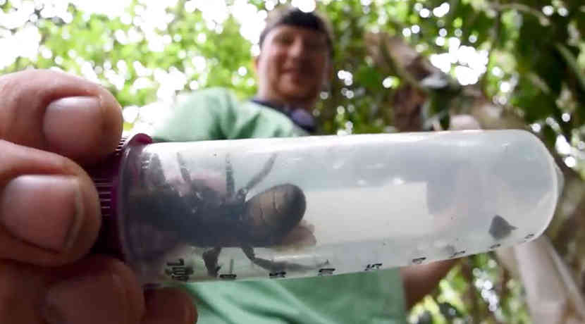 Wallace Riesenbiene