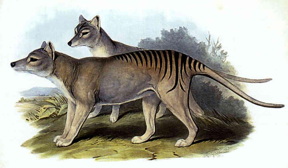 Tasmanischen Tiger