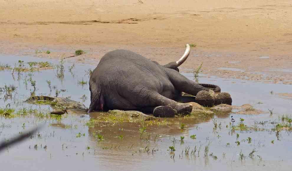 Elefanten Sterben In Botswana